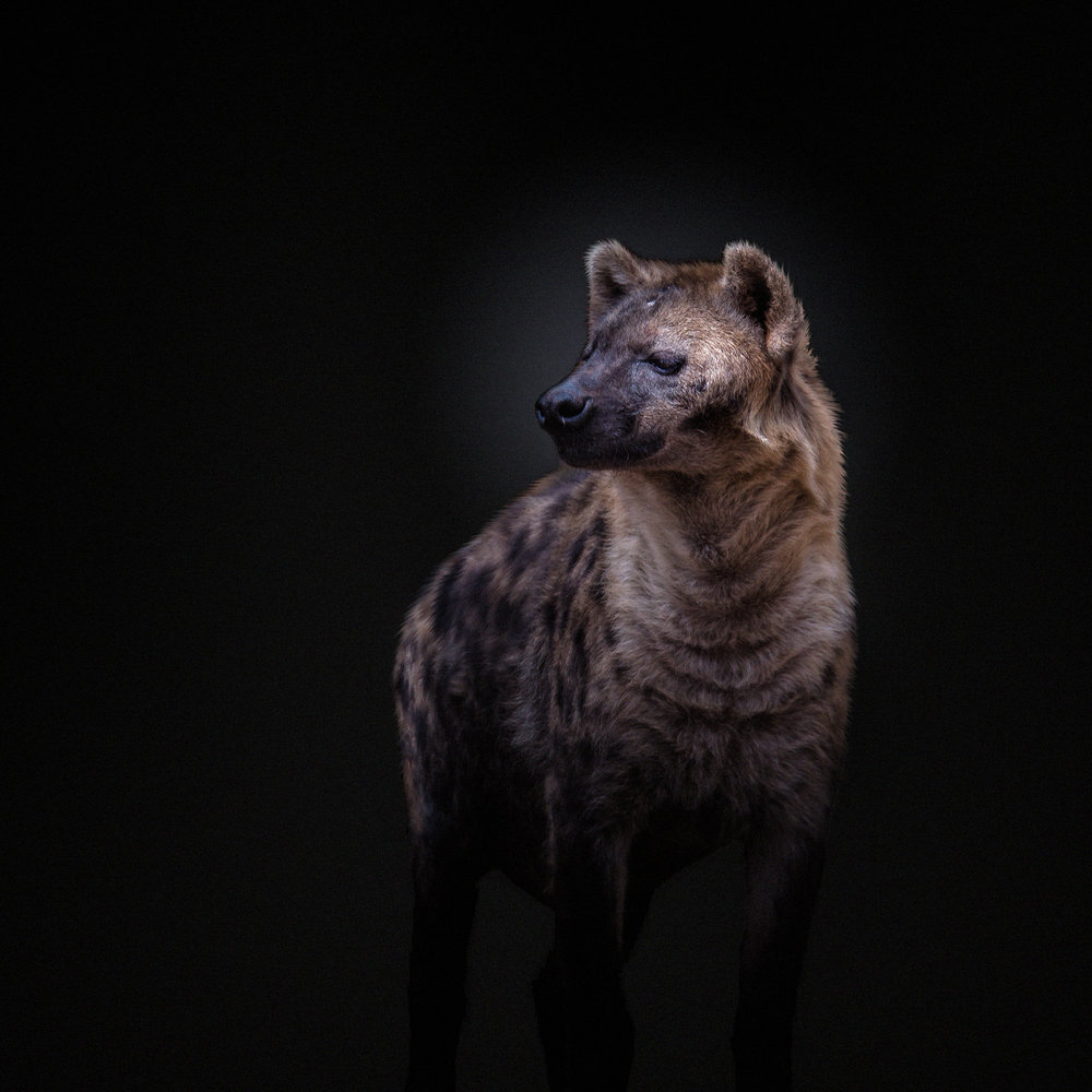 Hyena Portrait Joe Were