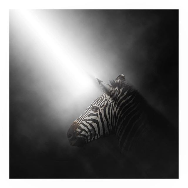 One of my favorite animals...super curious and staying alive.  Anyone ever seen a Grevy's zebra in real life? They have rounded ears (unlike the one in the picture)