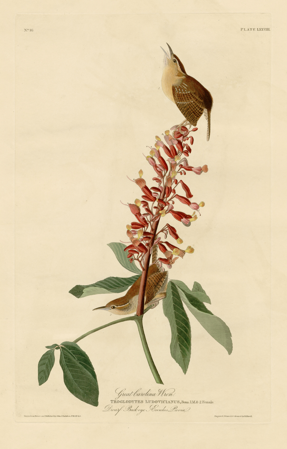 Great Carolina Wren - Plate 78 of Birds of America by John James Audubon