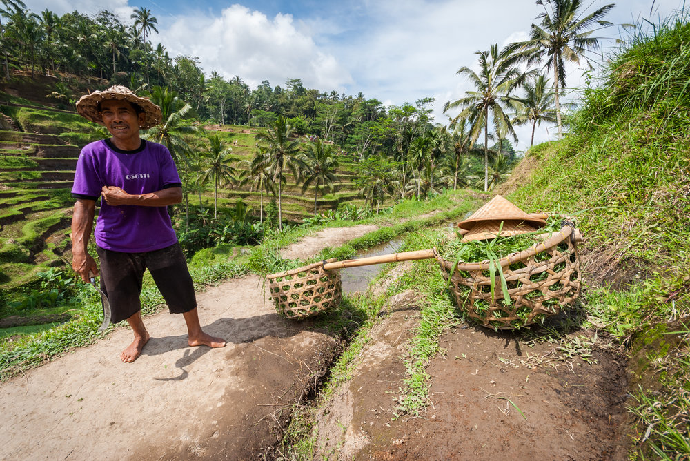 Keeping the rice terraces of Tegallalang in good shape is work for a lifetime. Tegallalang, Ubud, Bali