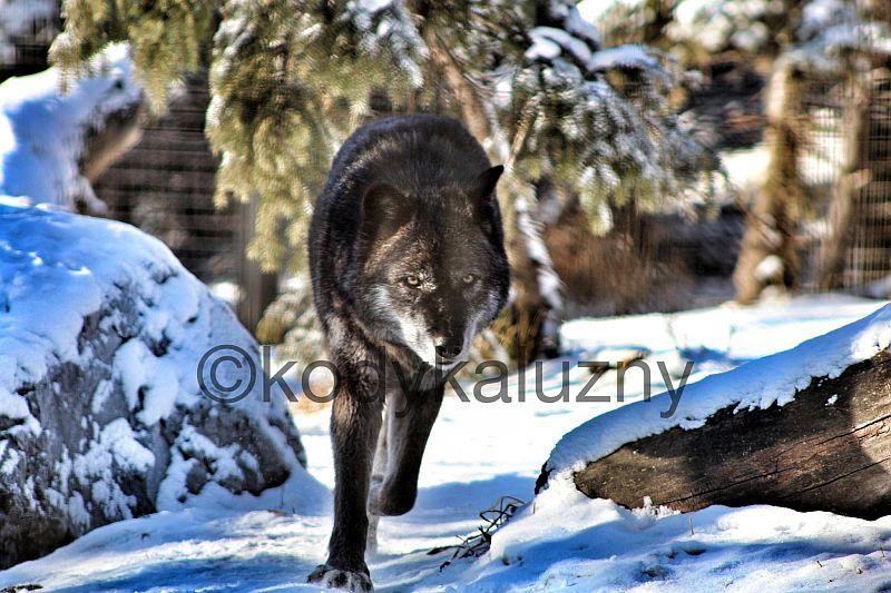 WOLF, DUH! by Kody K.