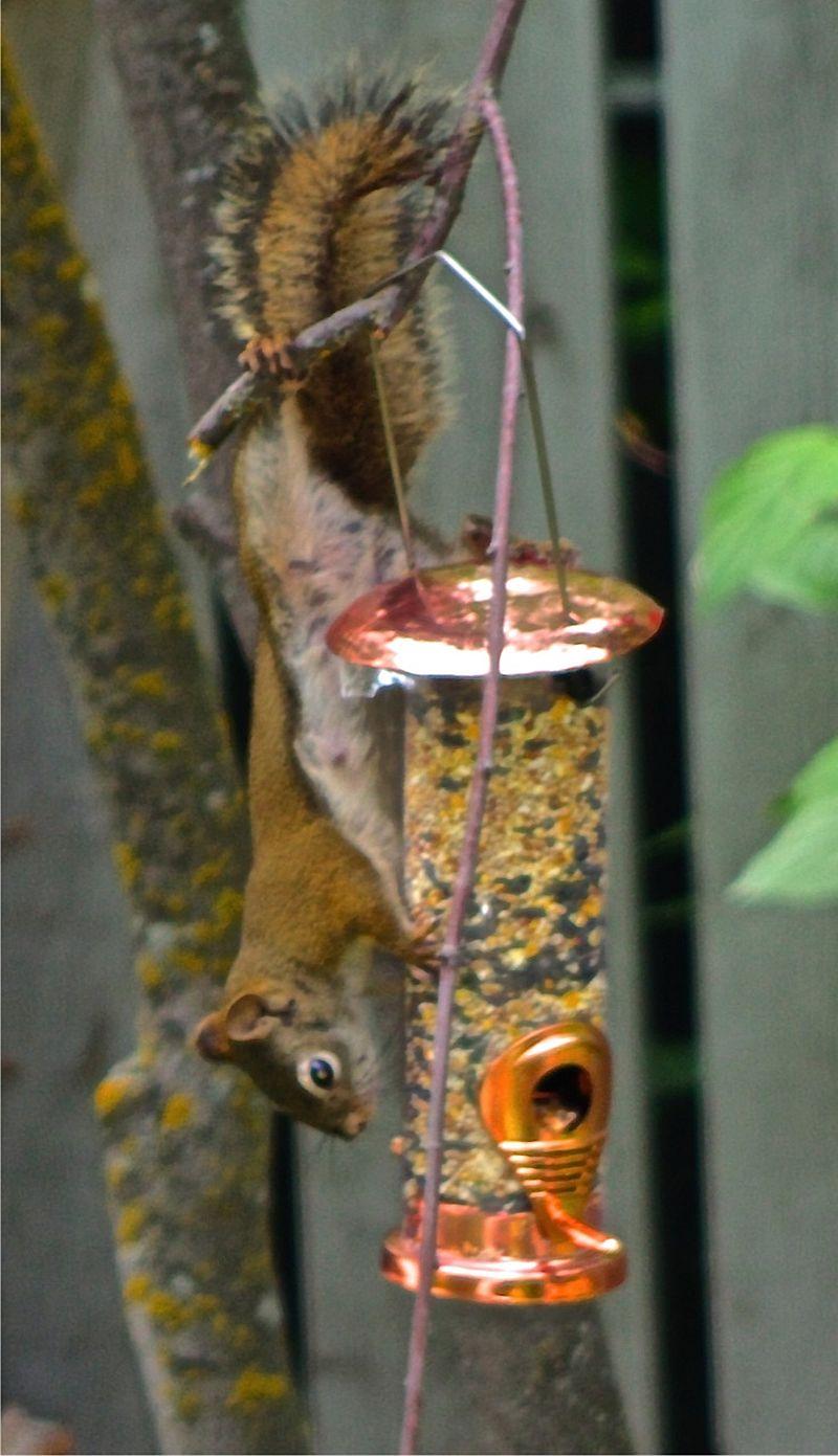 Naughty Red Squirrel - Half Moon Lake, AB, Canada by Kajsa Dawn
