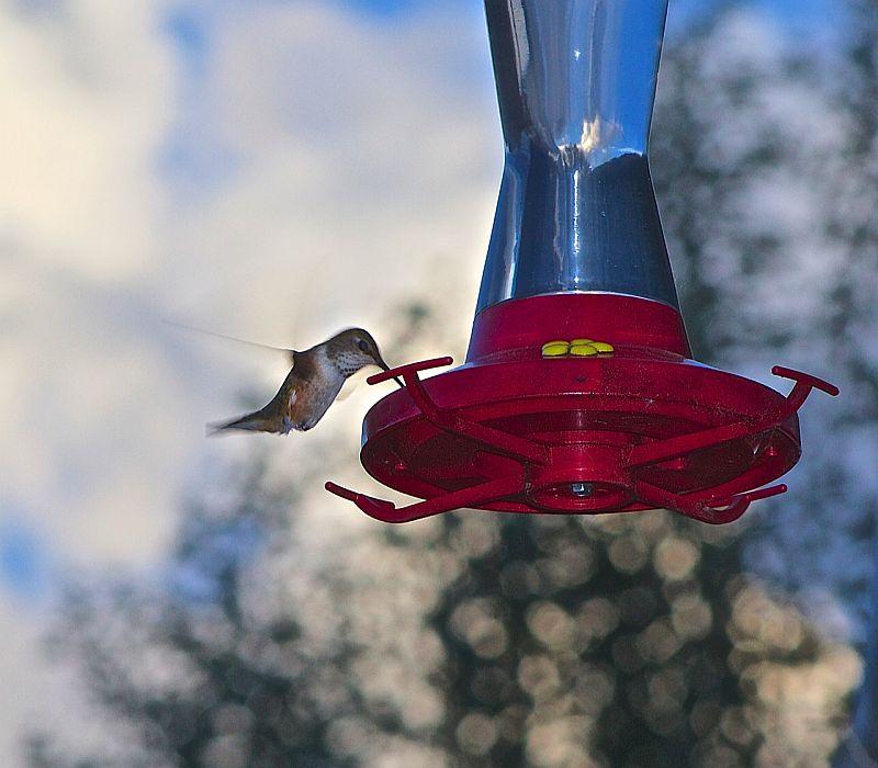 Rufus Hummingbird - Vavenby, BC, Canada by Kajsa Dawn