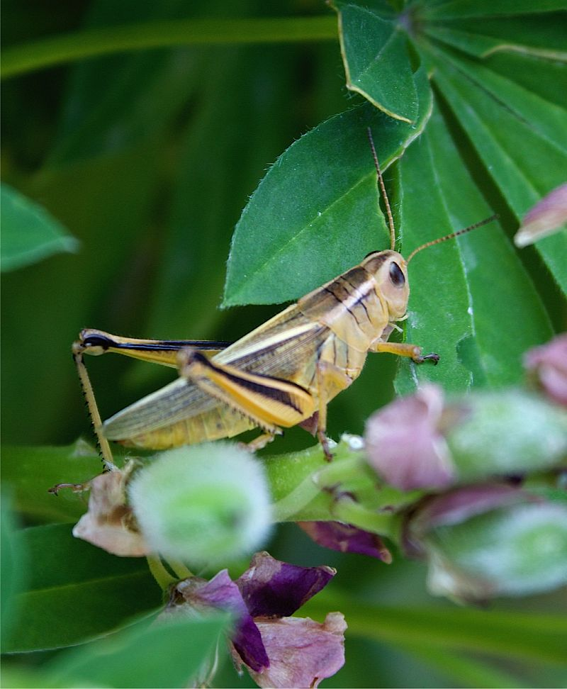 Grasshopper on Lpine - Calgary, AB, Canada by Kajsa Dawn