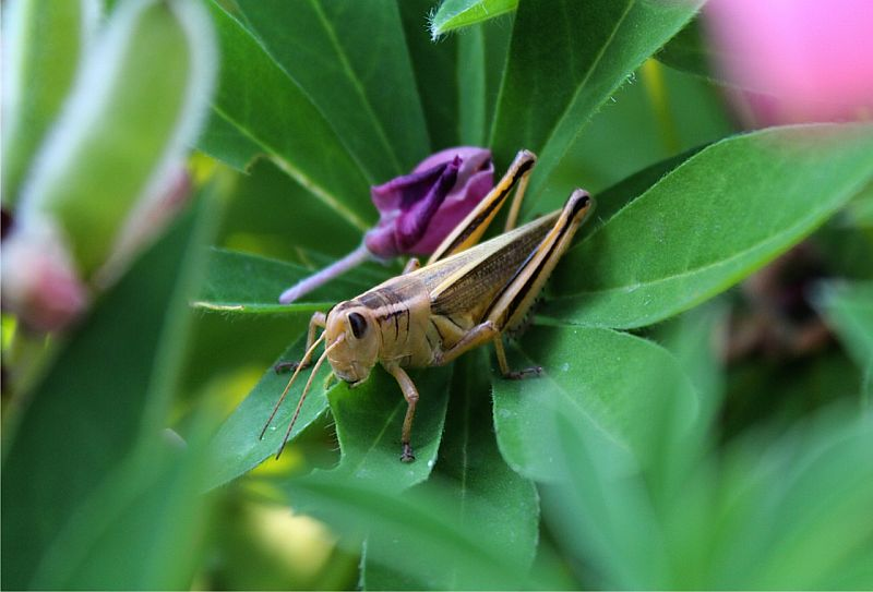 Grasshopper on Lpine 2 - Calgary, AB, Canada by Kajsa Dawn