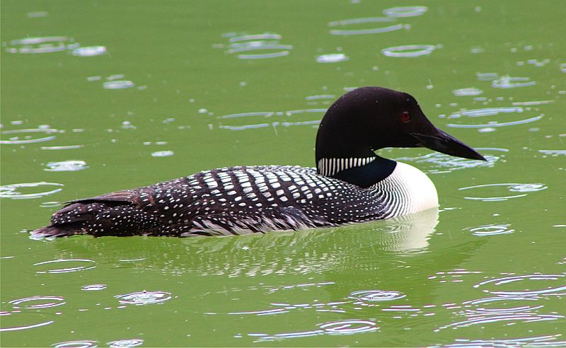 Common Loon 2 - Jasper National Park, AB, Canada by Kajsa Dawn