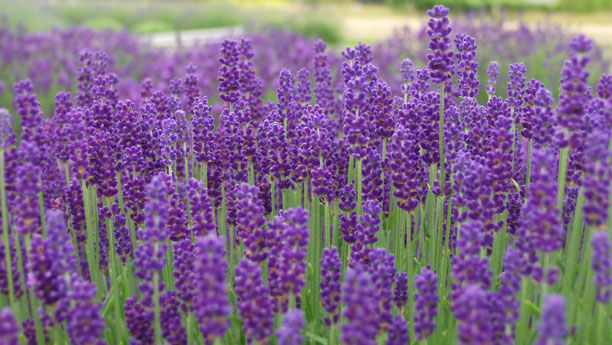 Linalool : found in lavender; anesthetic/anti-convulsant/analgesic/anti-anxiety/sedative