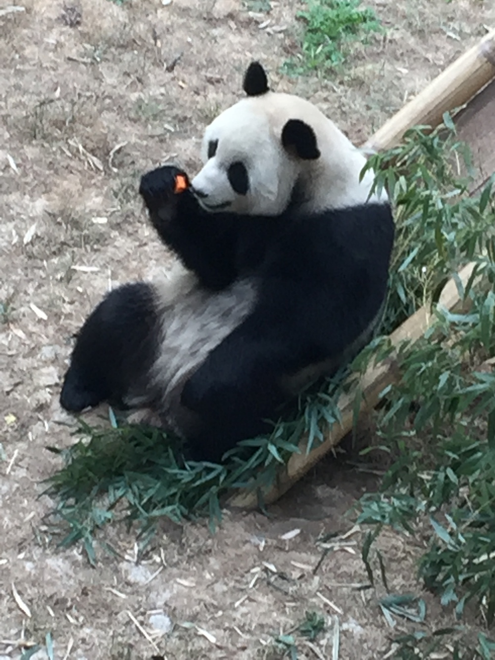 Panda's love carrots too!