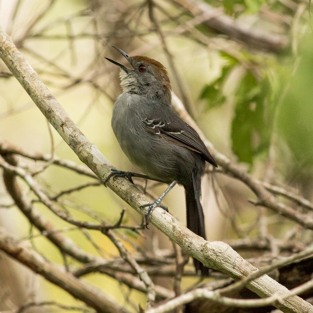 Rhopornis-ardesiacus-female.jpg