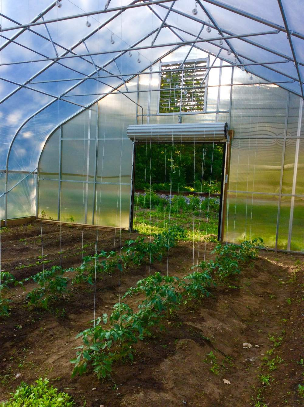 Tomato trellising in High Tunnel
