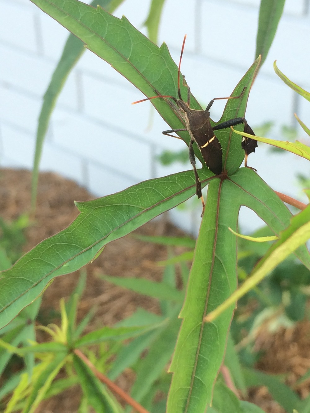 Leaf-footed Bug on Scarlet Rosemallow