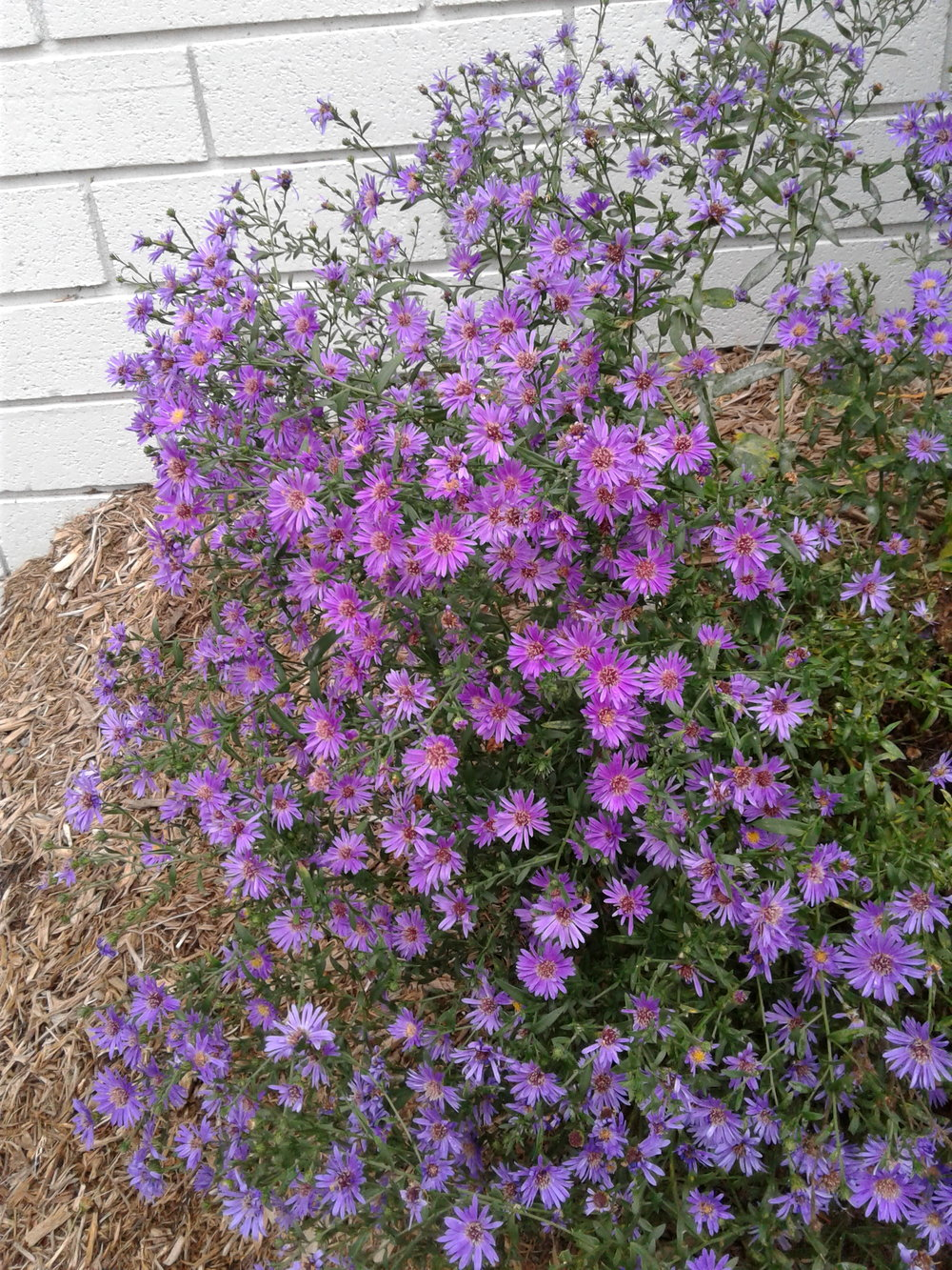 Woods Purple Aster