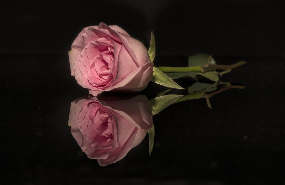 HONORABLE MENTION  - Judy Kramer | Rose | Photography