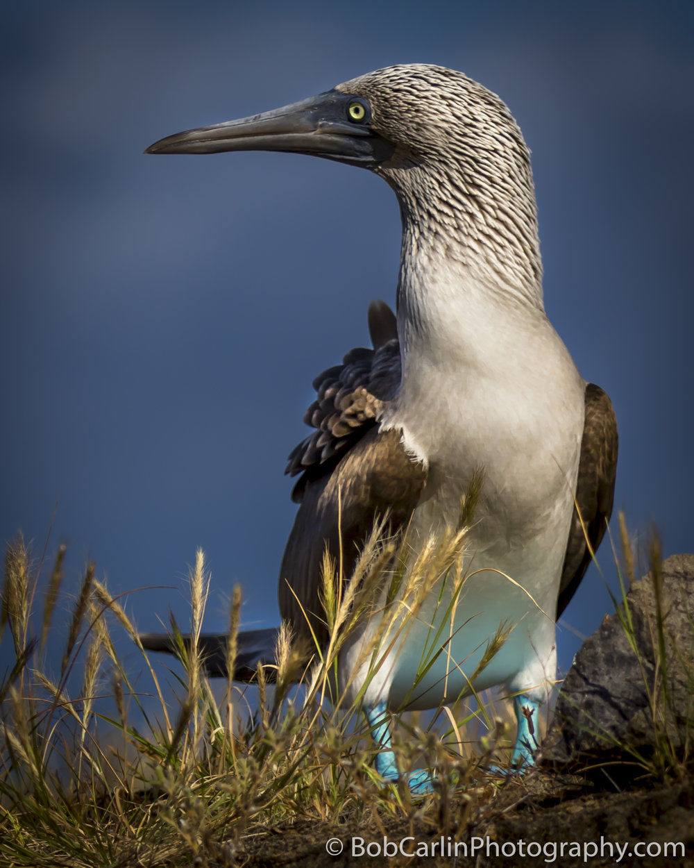 "HONORABLE MENTION  - Bob Carlin | ""Blue Footed Booby"" 