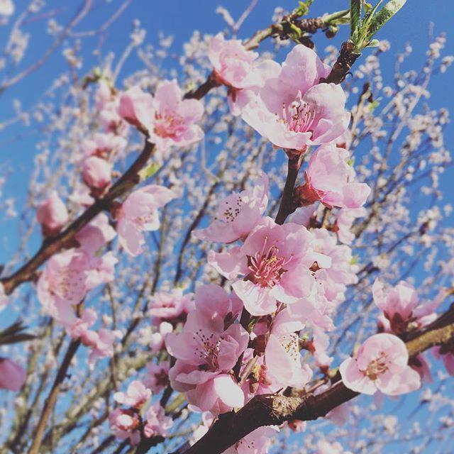 #cherryblossom #welovebudapest #springtime #ilovespring #flowers #blooming #pink