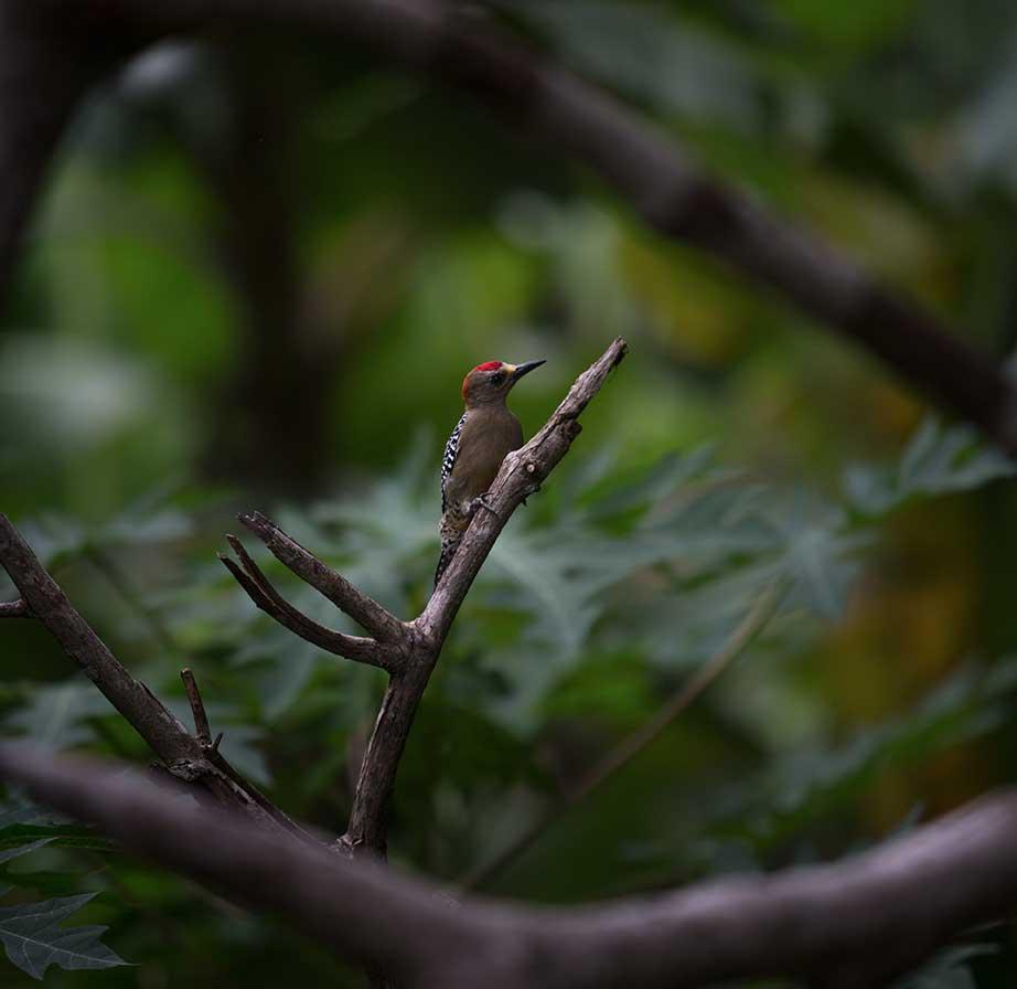 Woodpecker_Natasha_Johl.jpg