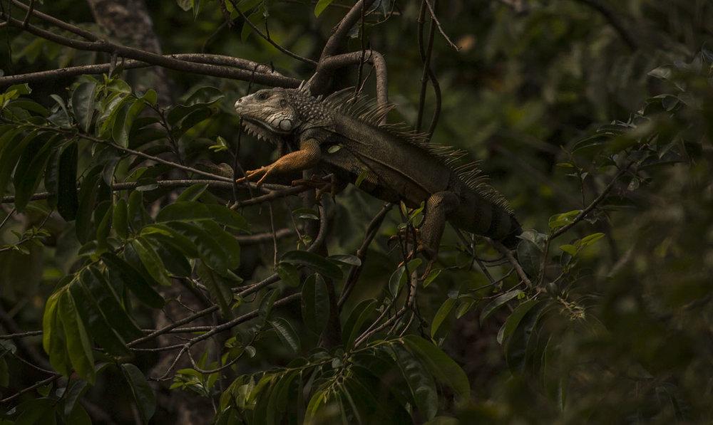 iguana-Natasha-Johl.jpg
