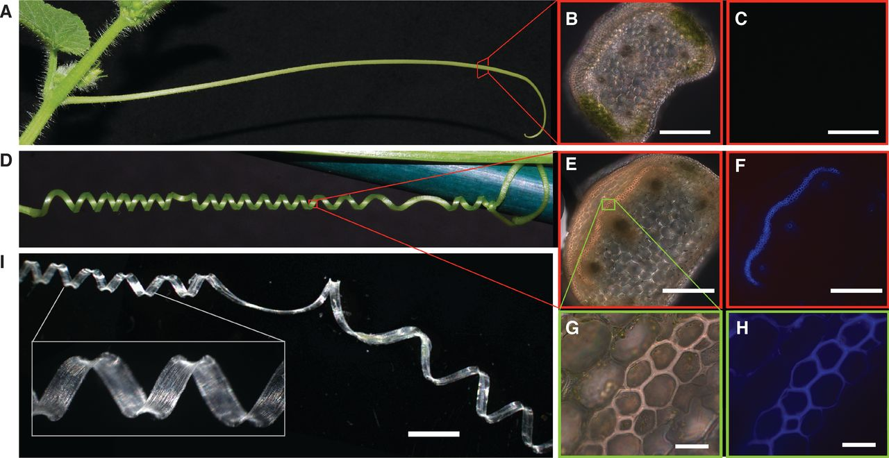 "freshphotons: ""The helical coiling of plant tendrils has fascinated scientists for centuries, yet the underlying mechanism remains elusive. Moreover, despite Darwin's widely accepted interpretation of coiled tendrils as soft springs, their mechanical behavior remains unknown. Our experiments on cucumber tendrils demonstrate that tendril coiling occurs via asymmetric contraction of an internal fiber ribbon of specialized cells."" Via."