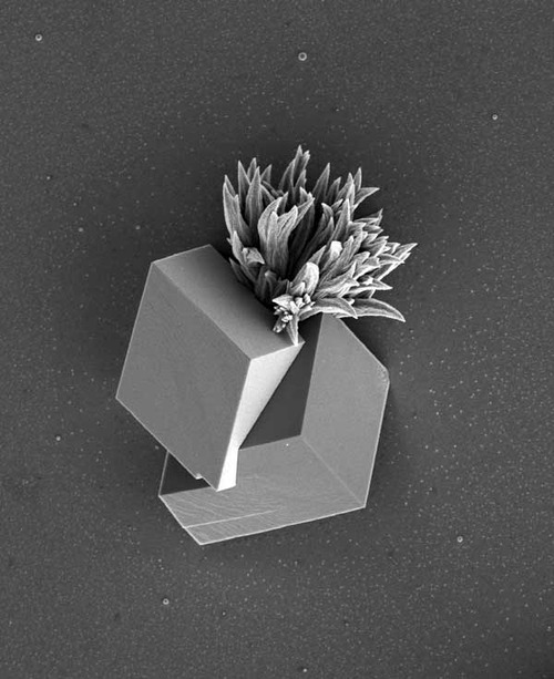 "antisquared: ""In this image, one organic template produces the leafy structure in the top half of the image, while a second template induces the formation of a cube. ""It looks like the bush is growing out of a cube,"" says Joanna Aizenberg. Both are made of calcium carbonate. The structure resembles that of a mollusk shell—the outer part of the shell is made of calcite, like the cube in the bottom part of the image. The inner shell is made of aragonite, which has the same chemical formula as calcite but different properties, and resembles the leafy structure in the top of the image."""