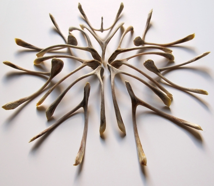thingsorganizedneatly :     furculae (a collection of wishbones) - jamie newton