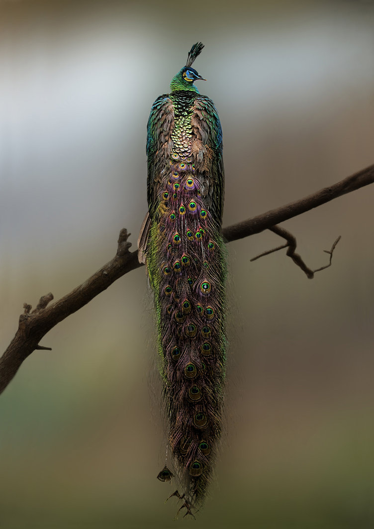 bigsmallworld: Peacock by Gouzelka