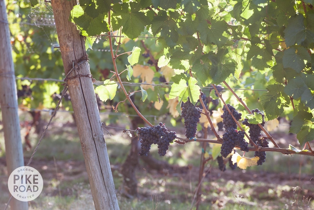 Pinot Gris on the vine ready for harvest