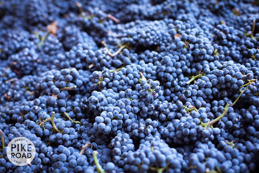 These Pinot Noir grapes are headed to the sorting table, destemmer and then open-top steel fermenters.