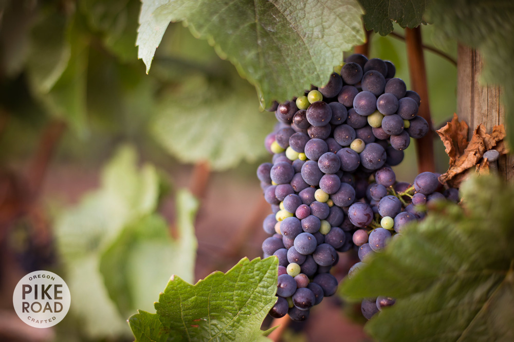 """Pinot Noir on the vine during """"veraison"""" or color-change"""