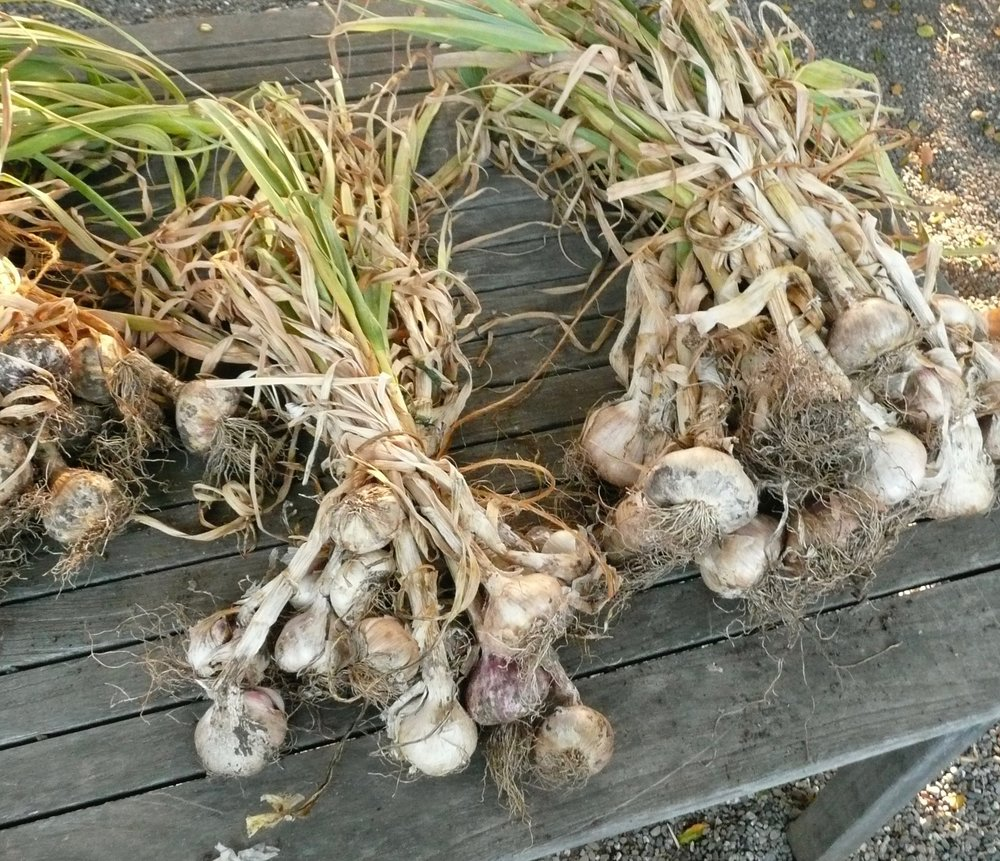 garlic drying in the garden