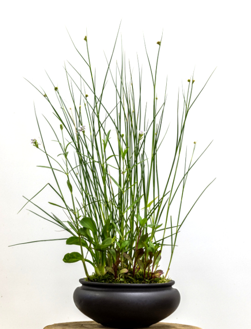Potter: Jamie Kirkpatrick (Colorado)   Juncus torreyi, Sagittaria latifolia, Lobelia 'Vulcan Red', Alisma plantago-aquatica, and Justicia americana