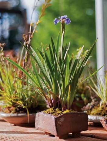 Figure 18: Iris setosa var. arctica (dwarf arctic iris)
