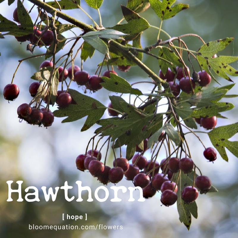 Hawthorn- hope
