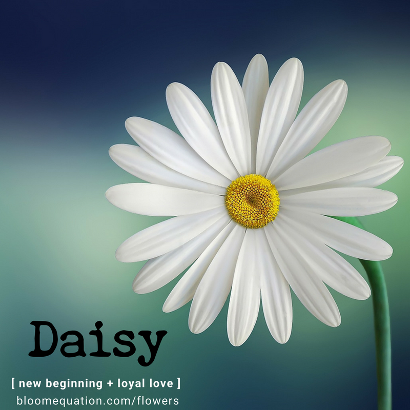 Daisy- new beginning and loyal love
