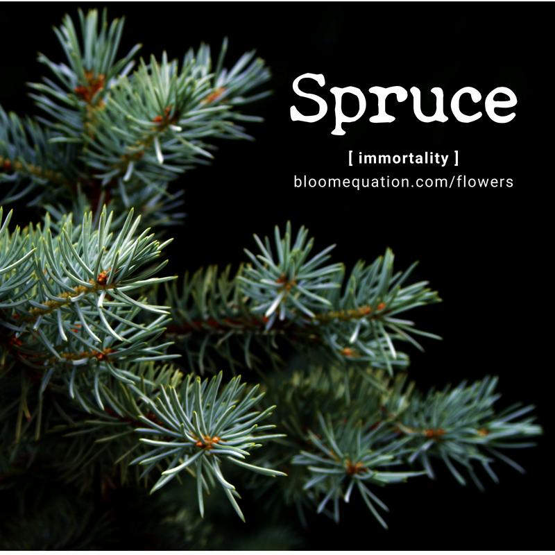 Spruce- immortality