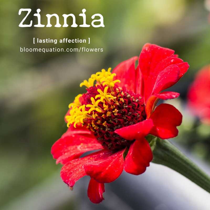 Zinnia- lasting affection