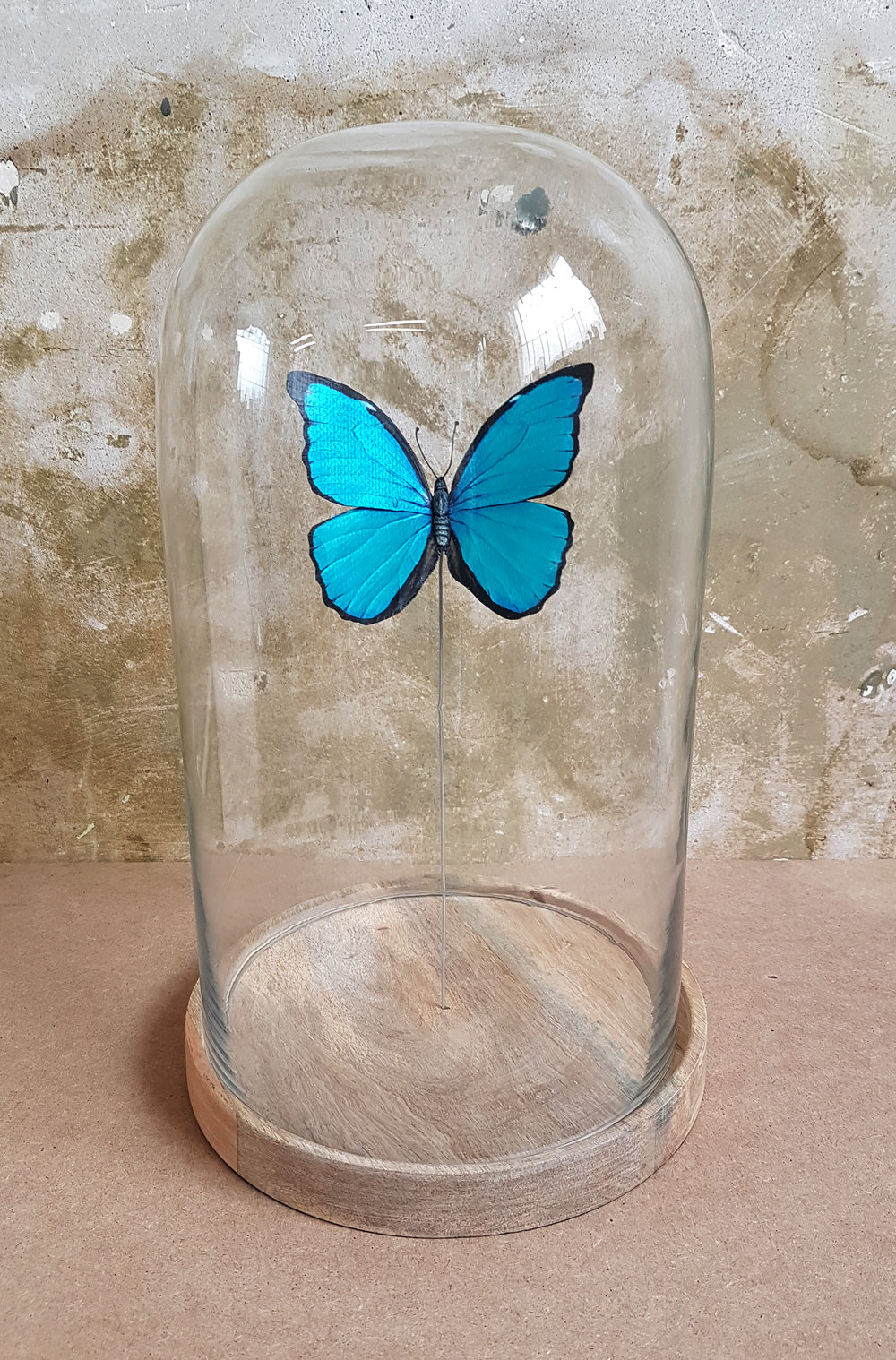 Each butterfly is displayed in their own Bell jar as pictured.
