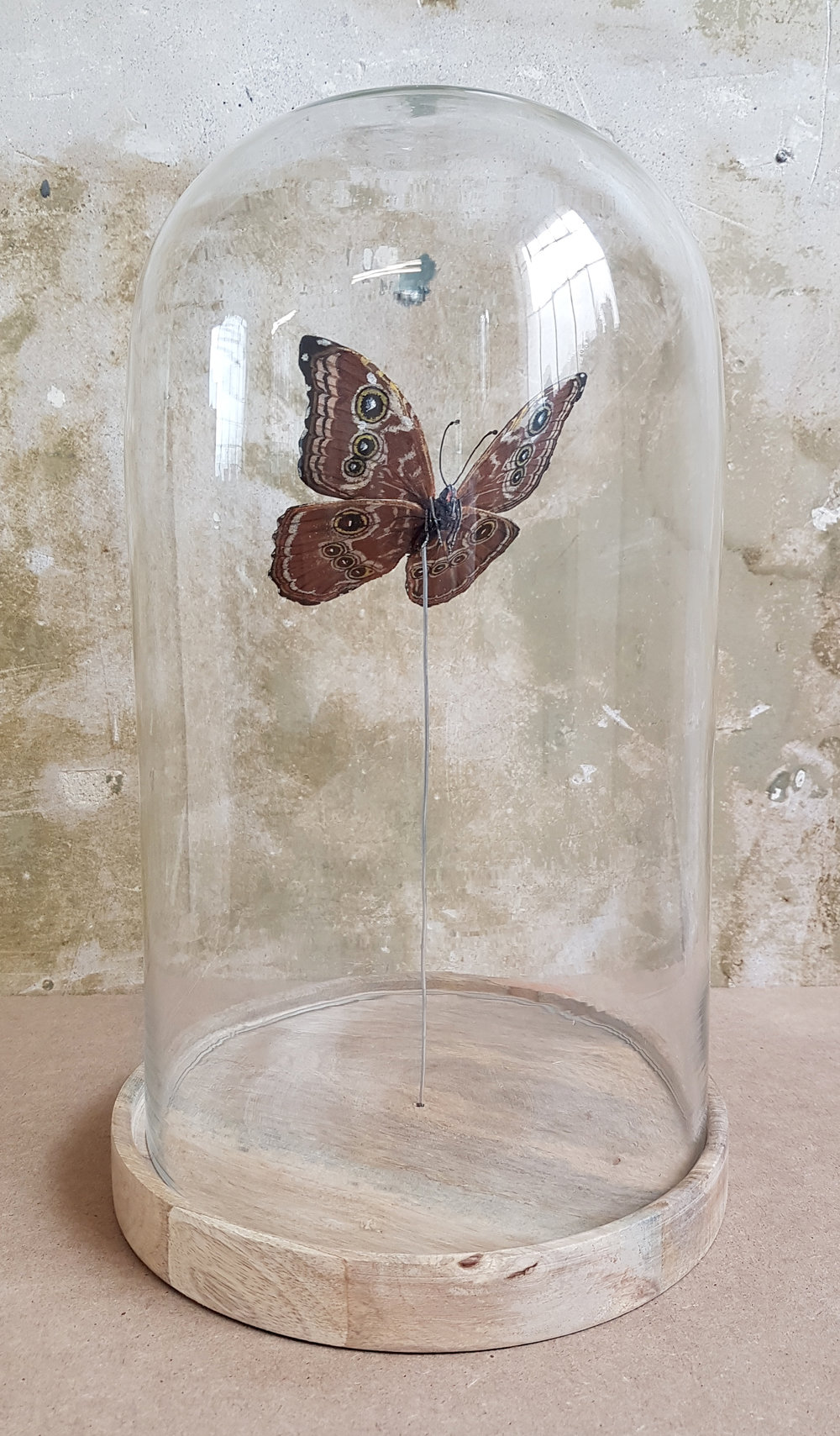 The butterfly is visible from all angles within it's bell jar.