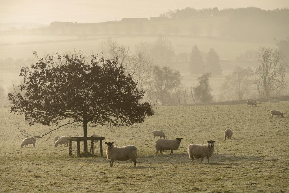 sheep-winter-fields-Gloucestershire-Jo-Kearney-photos-landscape-photography-video-landscapes.jpg