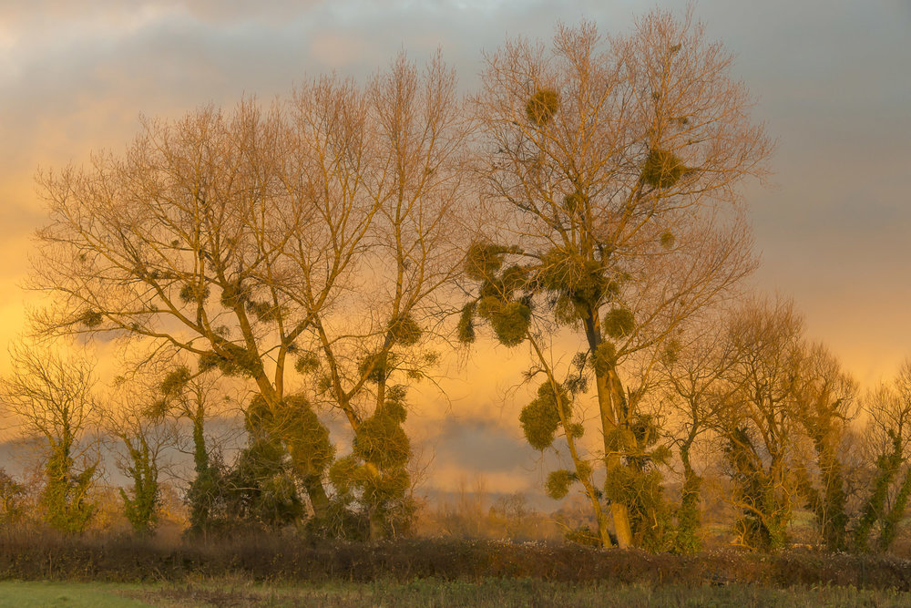 mistletoe-warm-colours-winter-fields-Gloucestershire-Jo-Kearney-photos-landscape-photography-video-landscapes.jpg