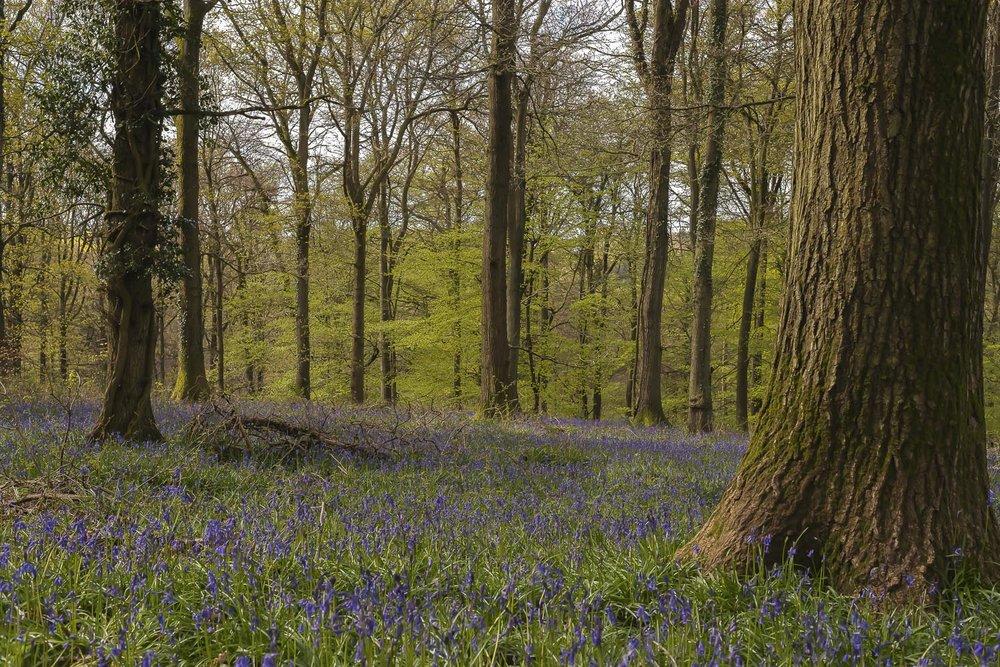 bluebells-Gloucestershire-Spring-woods-Forest-of-Dean-Jo-Kearney-photos-landscape-photography-video-landscapes.jpg