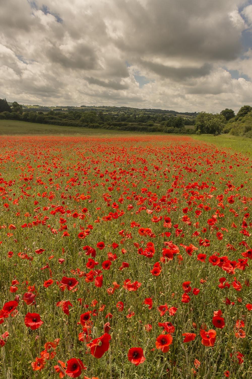 poppies-portrait-Gloucestershire-Jo-Kearney-photos-landscape-photography-video-landscapes.jpg