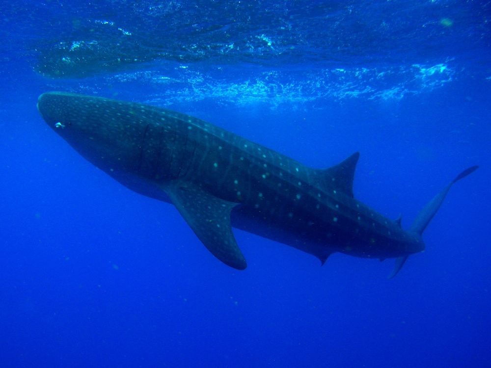 whale shark 2.jpg