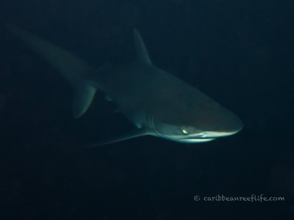 Photo - Mickey Charteris - Silky shark