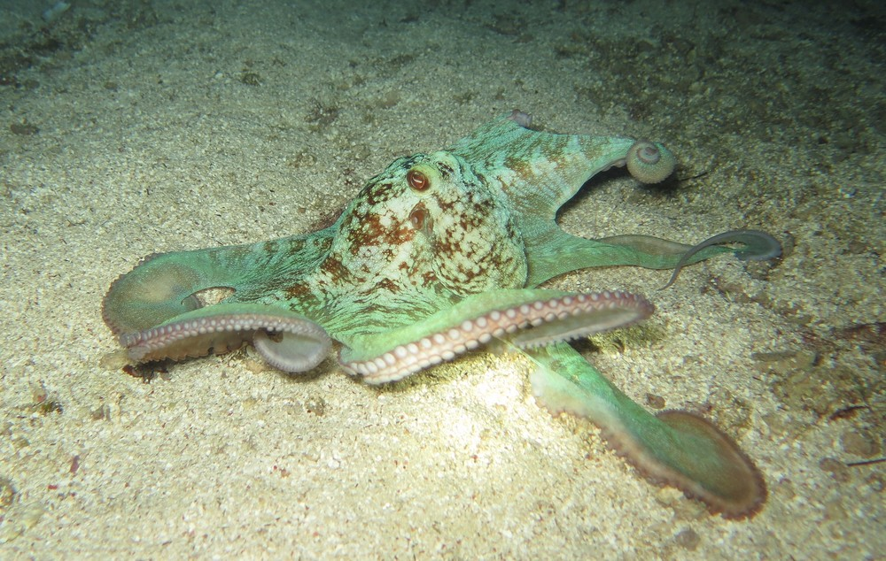 Photo - Courtney Blankenship - Caribbean Reef Octopus