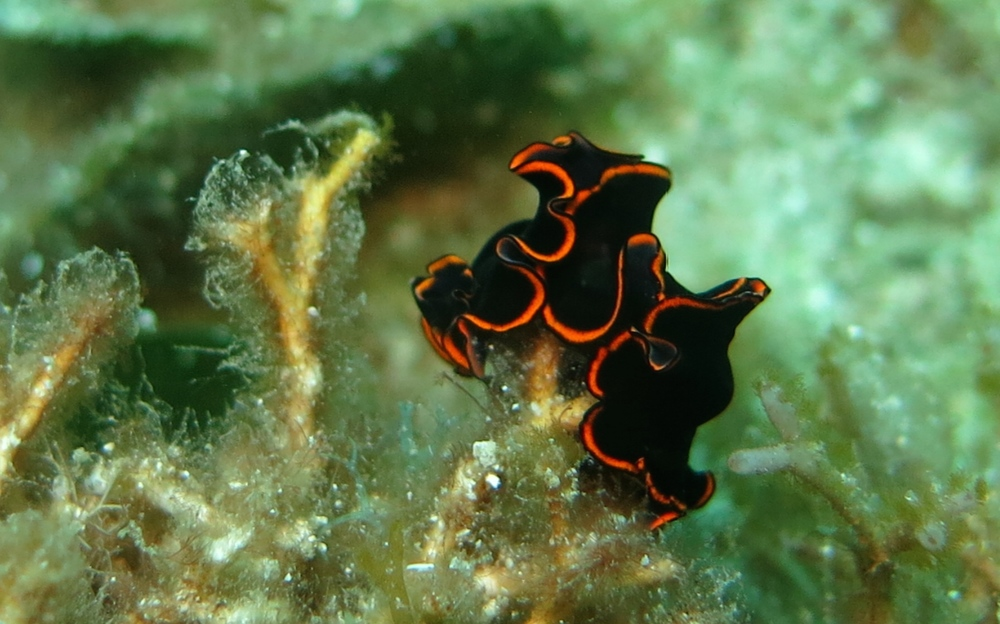 Splendid Flatworm