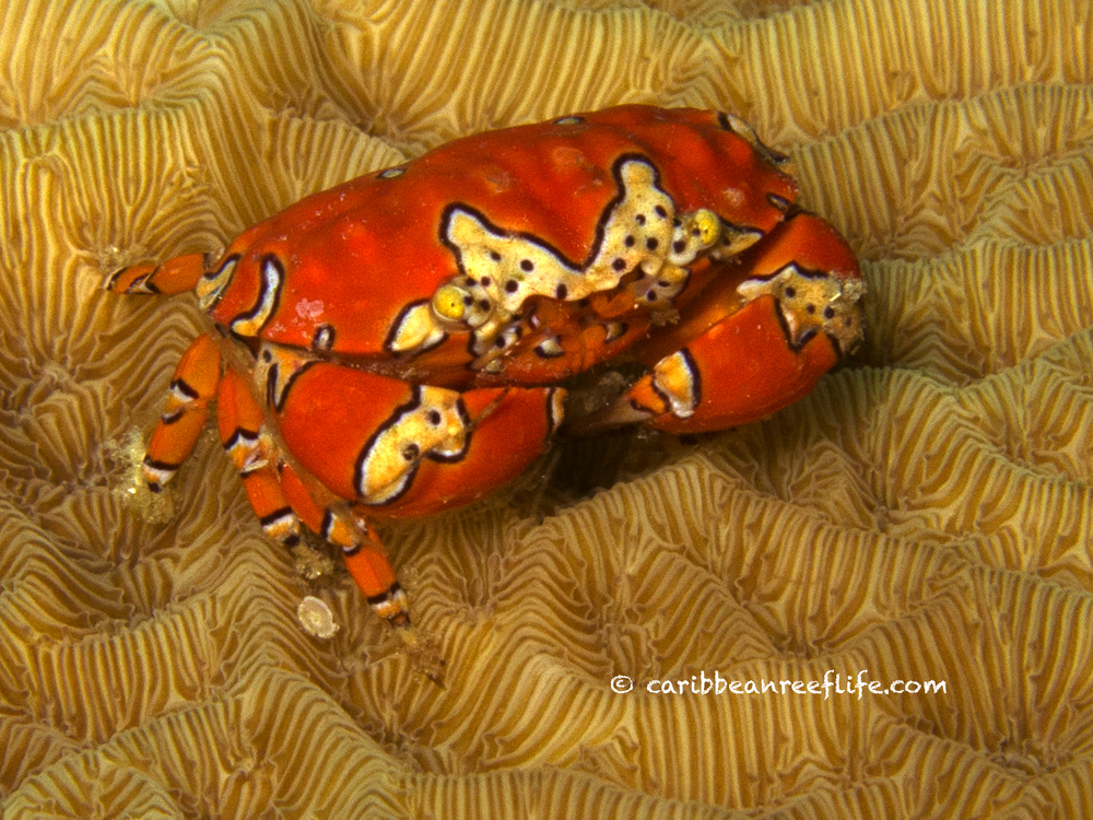 Gaudy Clown Crab
