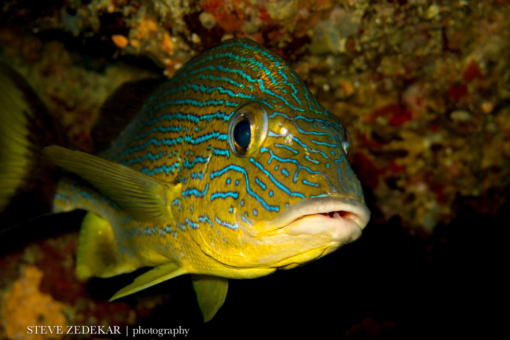 Blue Striped Grunt 2