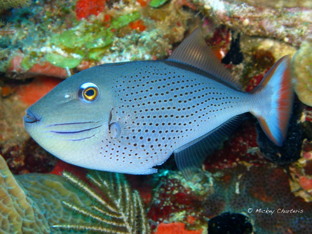The sexy Sargassum Triggerfish.  Photo - Mickey Charteris