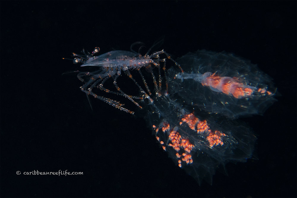 larval lobster with siphonophores