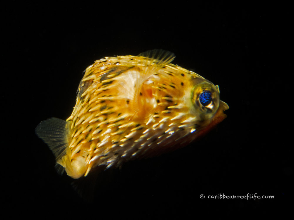 post-larval balloonfish (Diodon sp.)